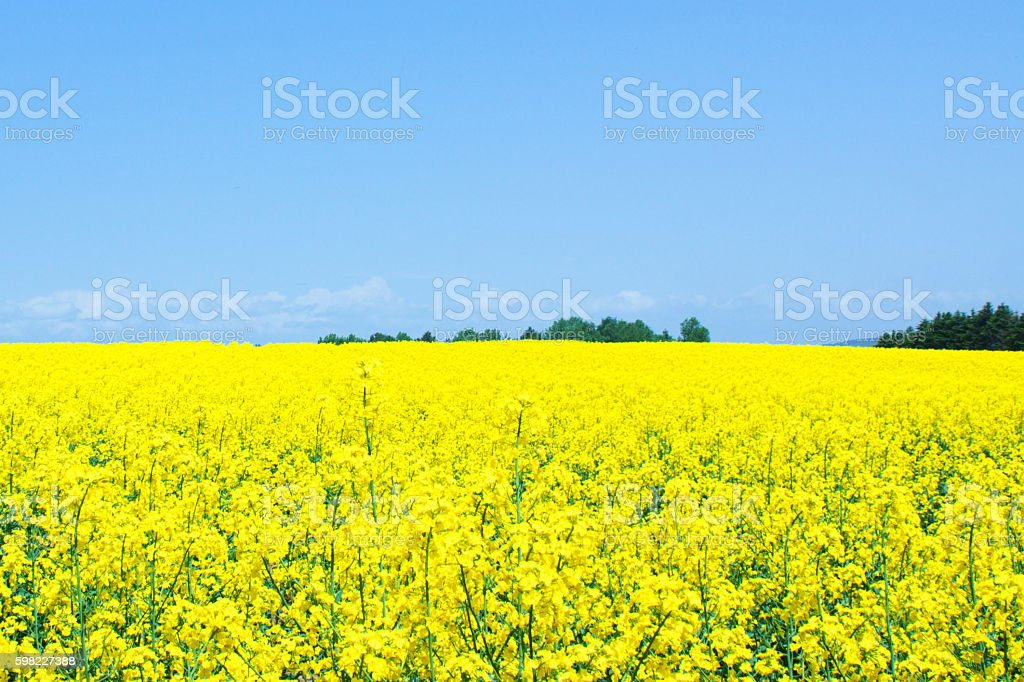 Rape-blossom field in a superb view foto royalty-free