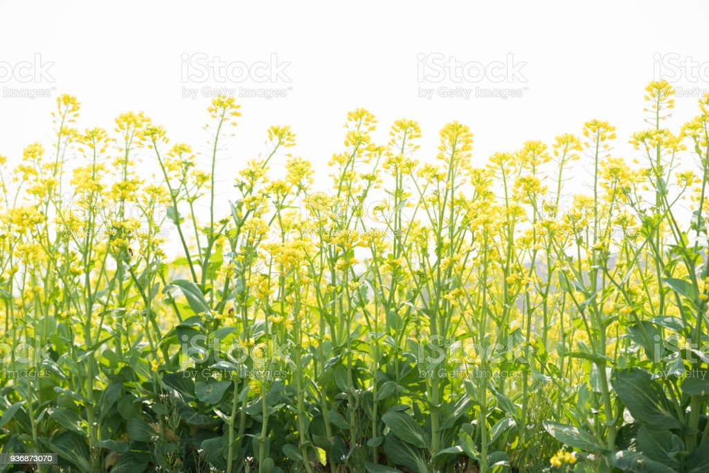 rapeflower blooming in spring under sunny day stock photo