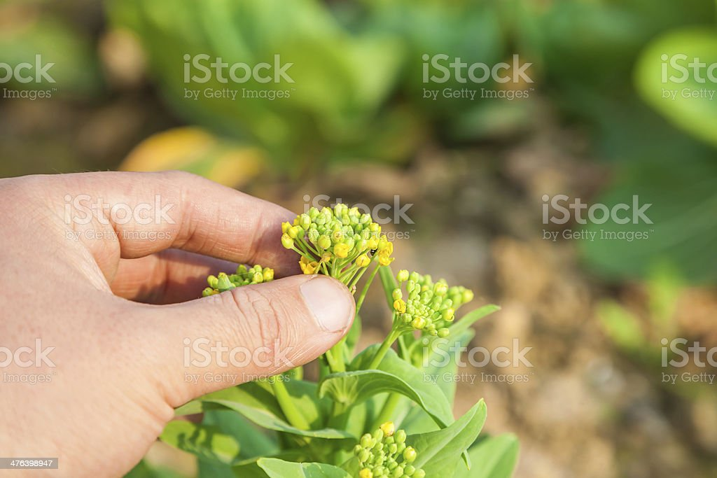 rapeflower royalty-free stock photo