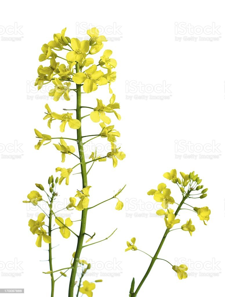 Rapeflower plant stock photo