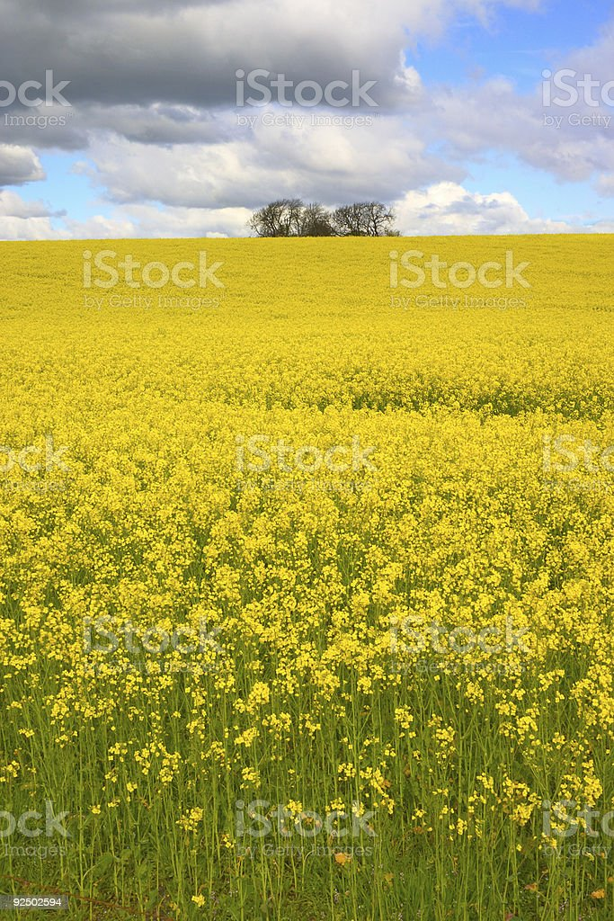 Rapeseed 2 royalty-free stock photo