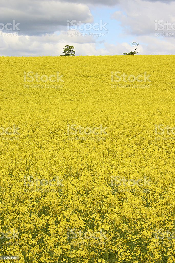 Rapeseed 3 royalty-free stock photo
