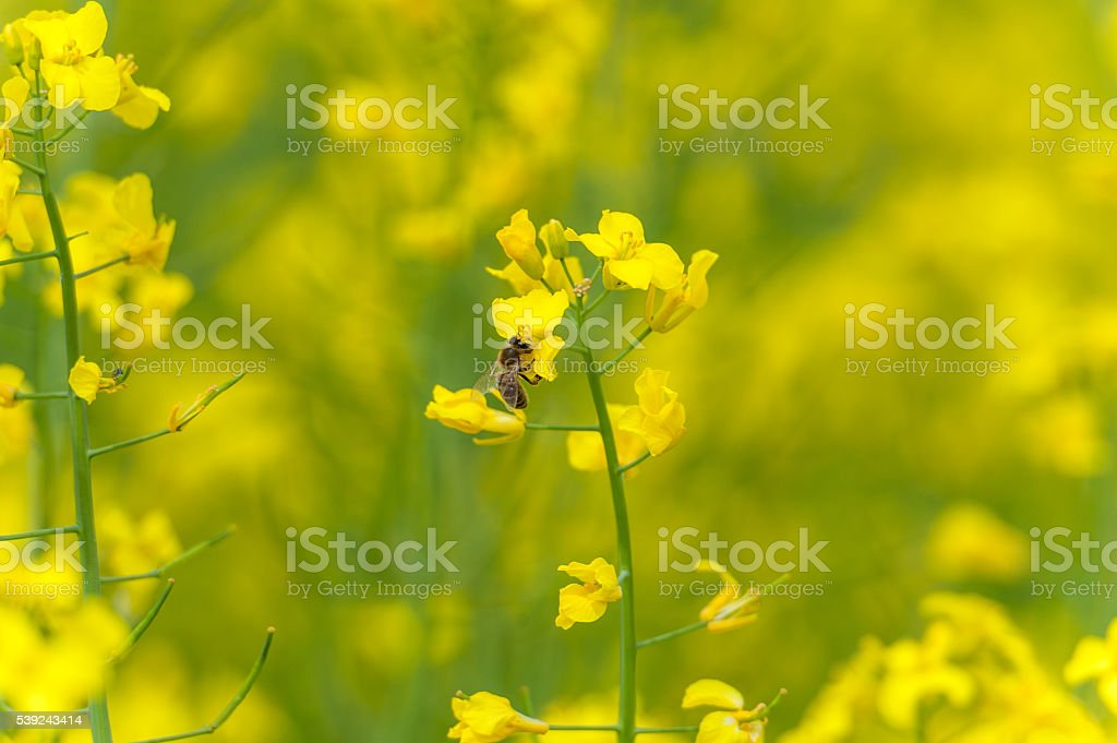 Rapeseed Blossom Macro Photo Shoot. Bee is on the top royalty-free stock photo