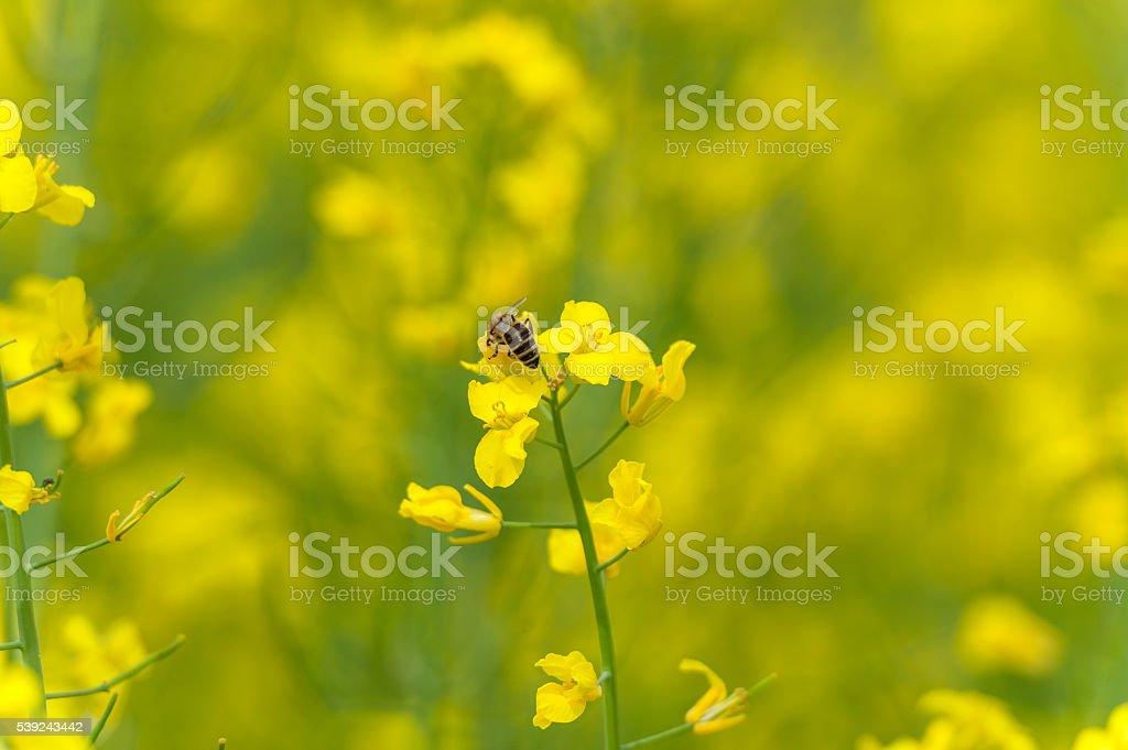 Rapeseed Blossom Macro Photo Shoot with Bee foto de stock libre de derechos