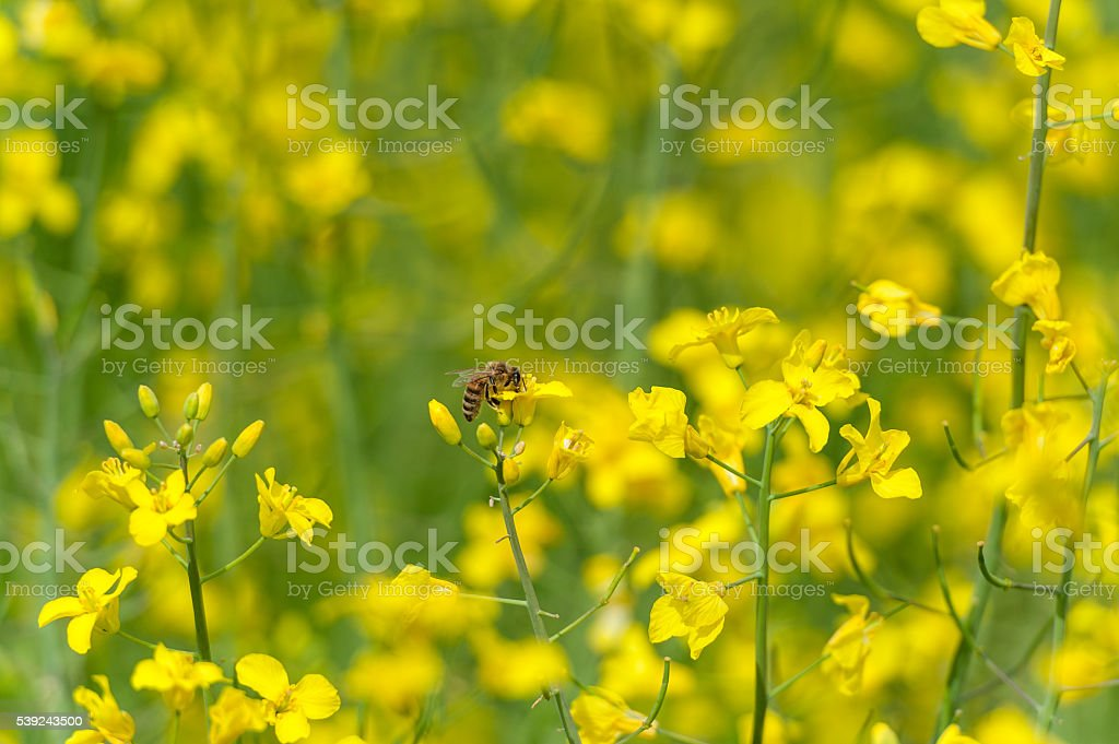 Rapeseed Blossom Macro Photo Shoot with Bee royalty-free stock photo