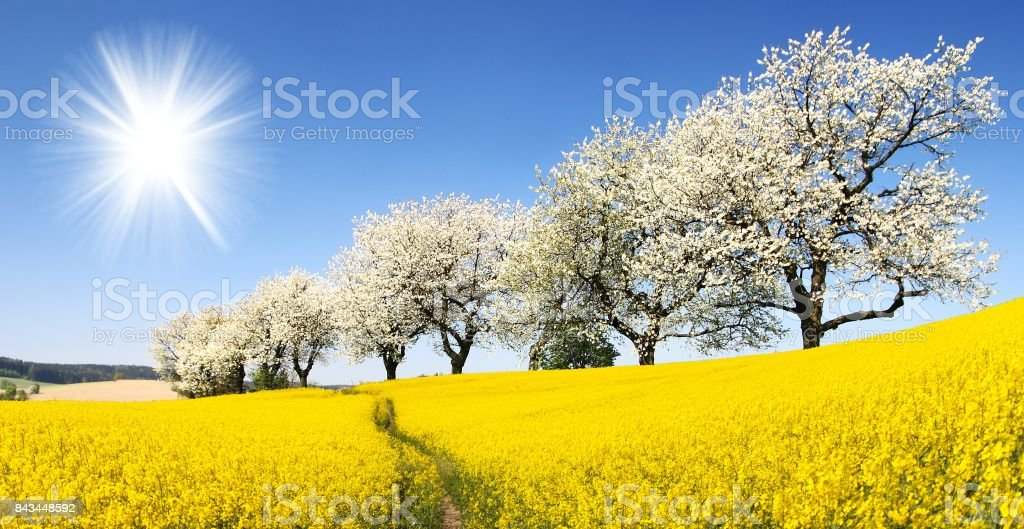Rapeseed, canola or colza field with parhway stock photo