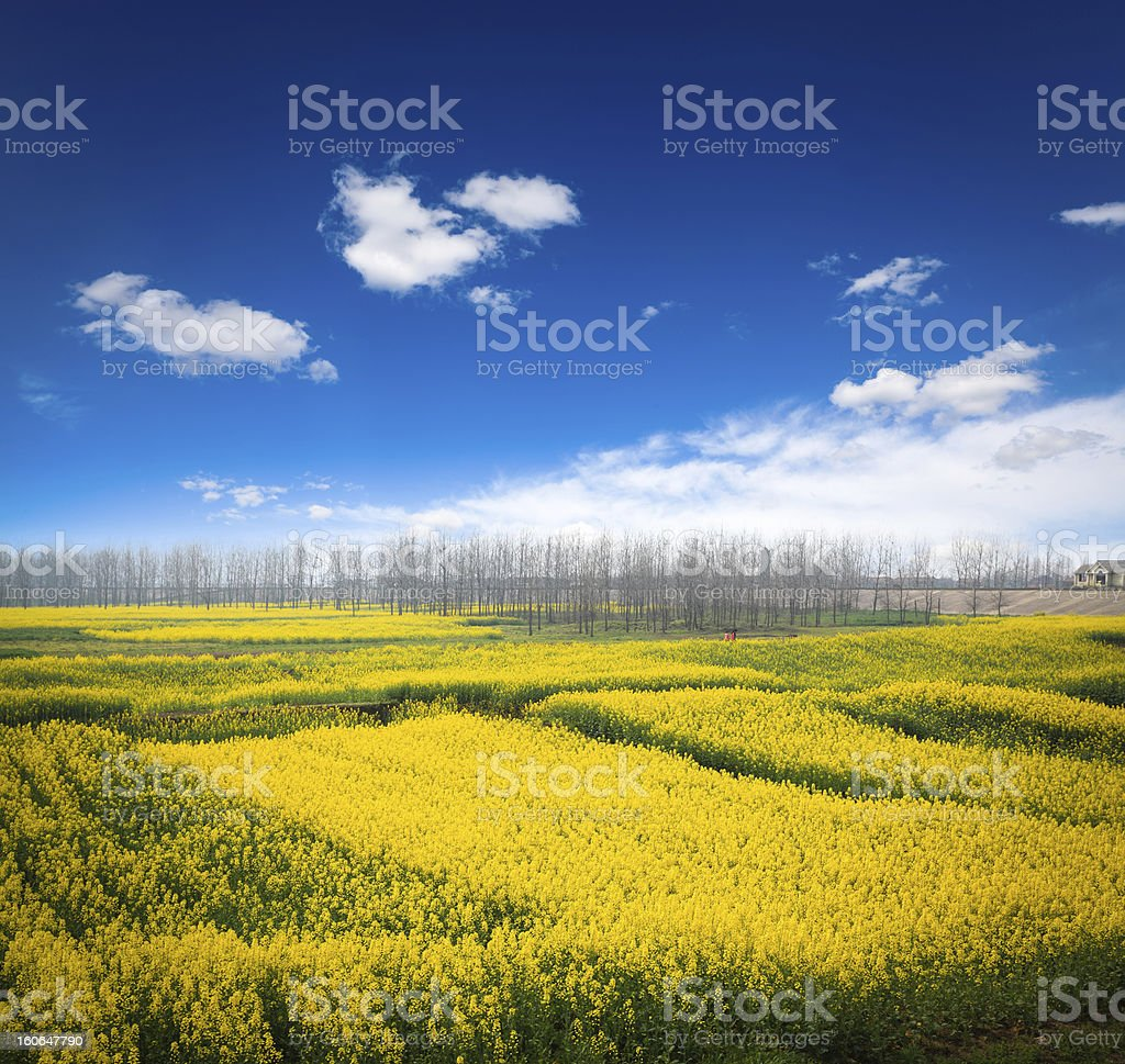 rapeseed field against a blue sky royalty-free stock photo