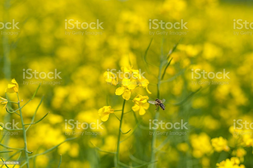 Rapeseed field and bee flying over the blossom. royalty-free stock photo
