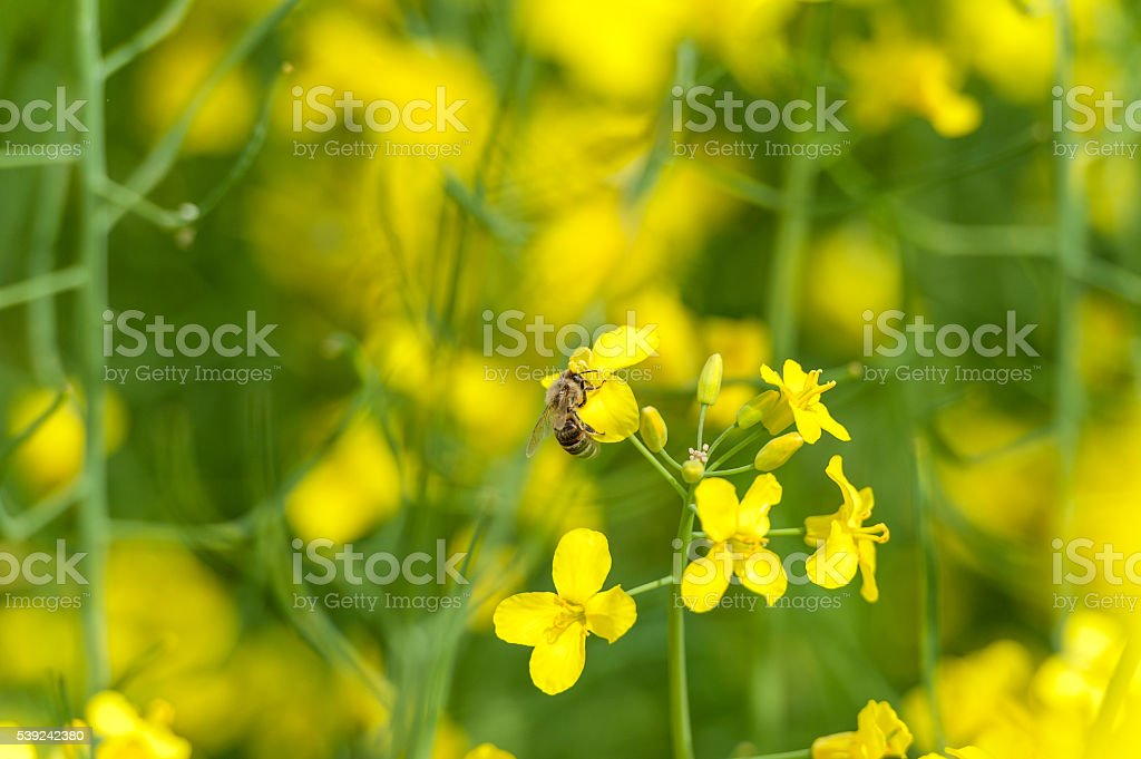 Rapeseed field and bee flying over the blossom. foto de stock libre de derechos