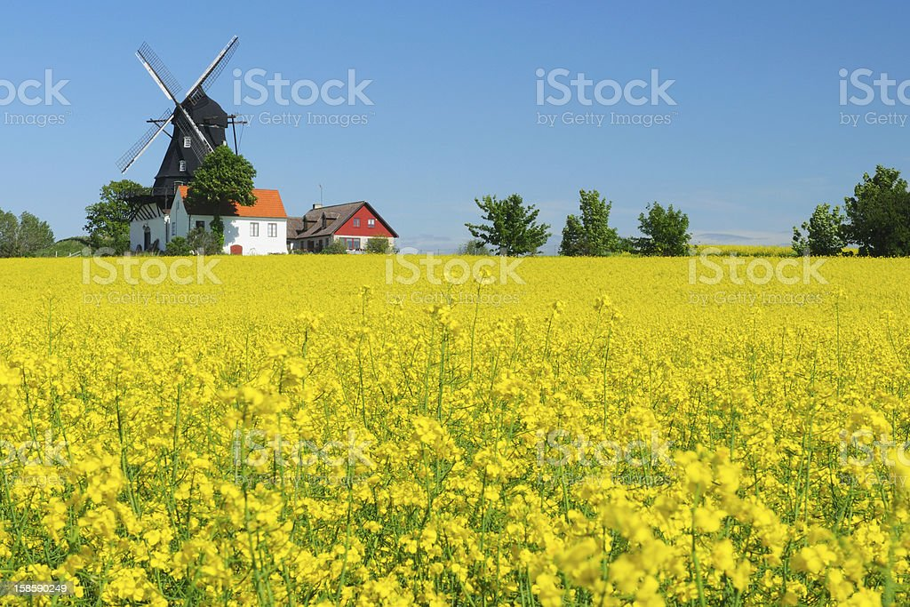 Rapeseed field and windmill stock photo