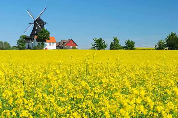 rapeseed field and windmill - skåne bildbanksfoton och bilder