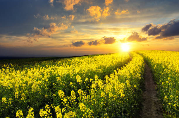 Rapeseed field at sunset Blossoming rapeseed field leading to the beautiful sunset sky brassica rapa stock pictures, royalty-free photos & images