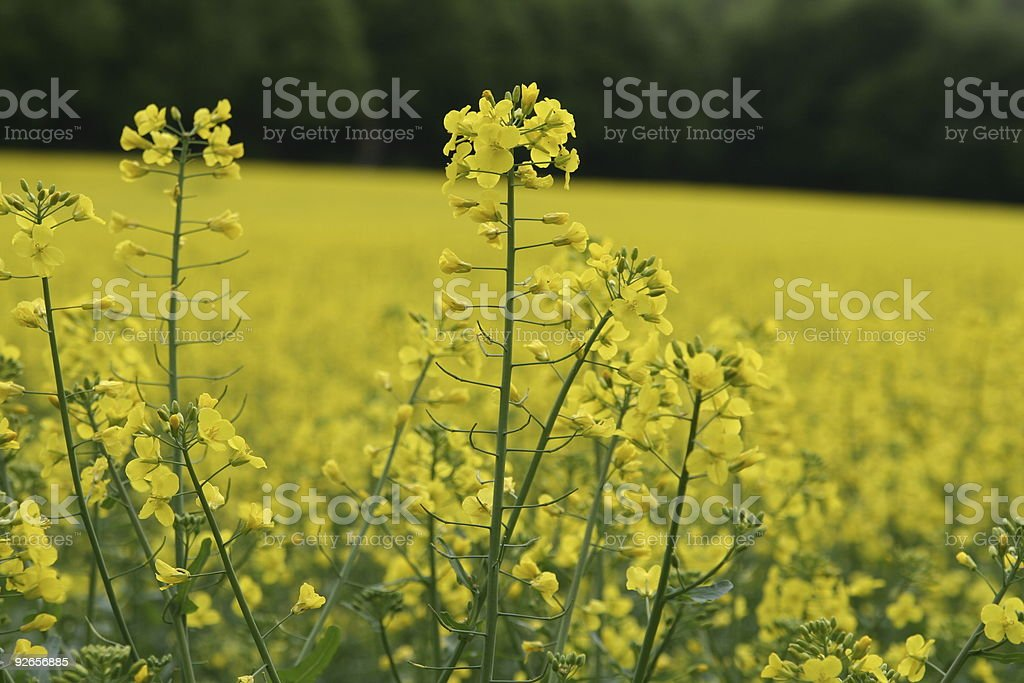 Rapeseed Field Flower royalty-free stock photo