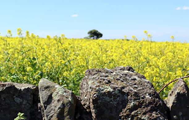 Rapeseed field in May stock photo