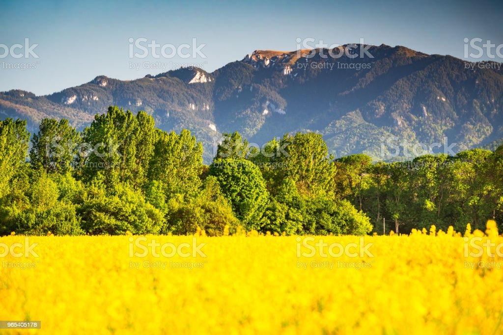 Rapeseed field in mountain landscape zbiór zdjęć royalty-free