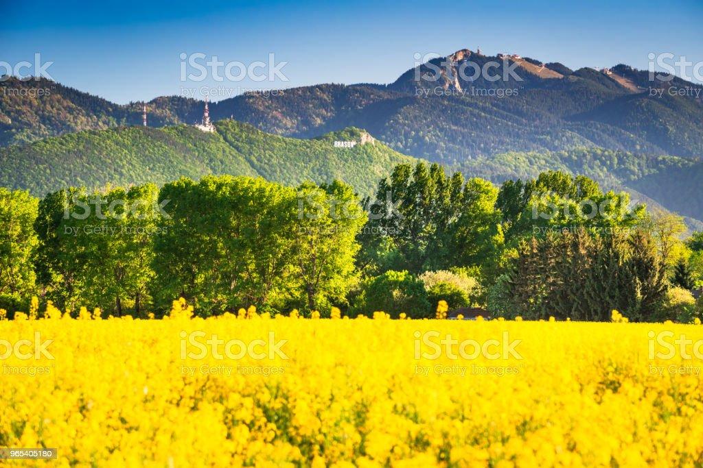 산 풍경에서 유채 필드 - 로열티 프리 0명 스톡 사진