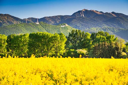 산 풍경에서 유채 필드 0명에 대한 스톡 사진 및 기타 이미지