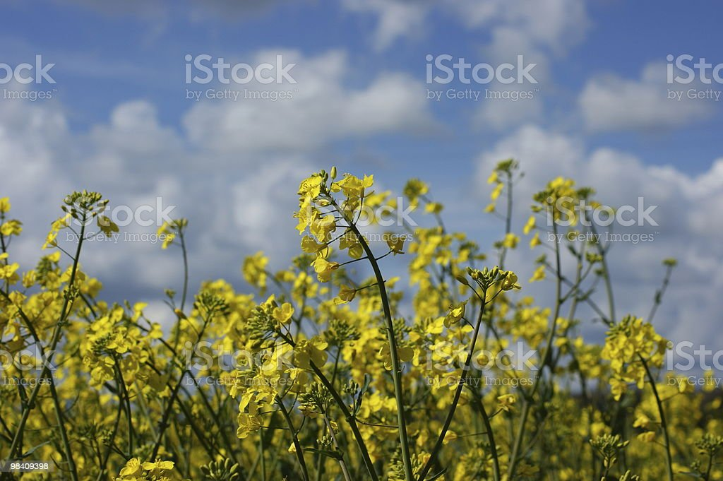 Rapeseed field in Springtime royalty-free stock photo