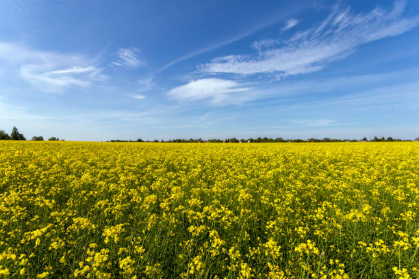 Rapeseed field on a sunny day stock photo