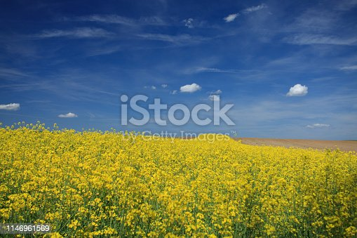 Rapeseed (Brassica napus), also known as rape, oilseed rape, and, in the case of one particular group of cultivars, canola, is a bright-yellow flowering member of the family Brassicaceae (mustard or cabbage family), cultivated mainly for its oil-rich seed. (Wikipedia)