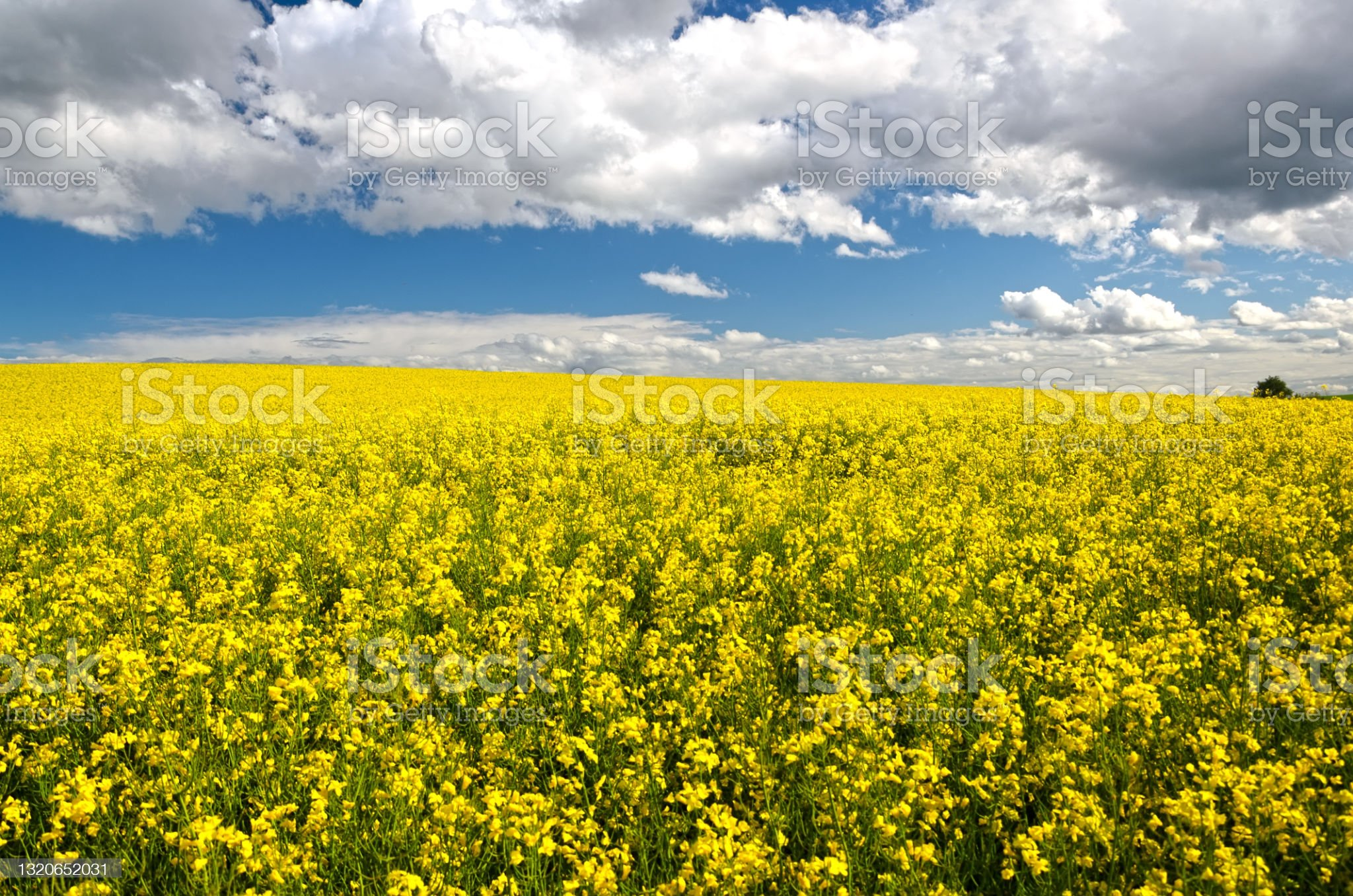 rapeseed-field-picture-id1320652031?s=20