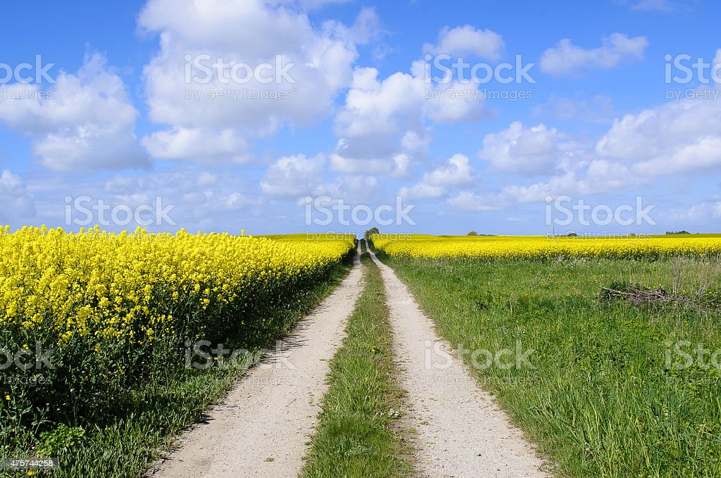 Rapeseed field stock photo