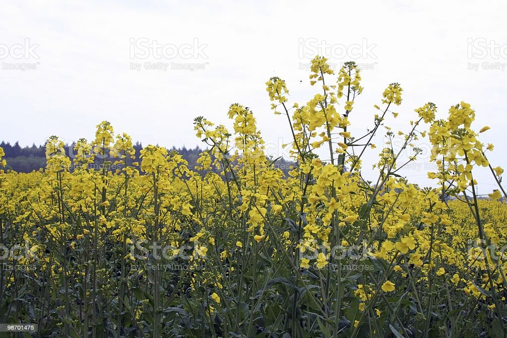Rape-seed Field royalty-free stock photo