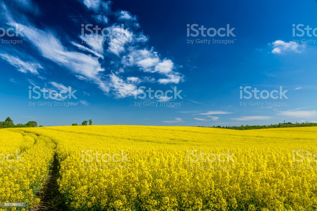 rapeseed field with blue sky stock photo