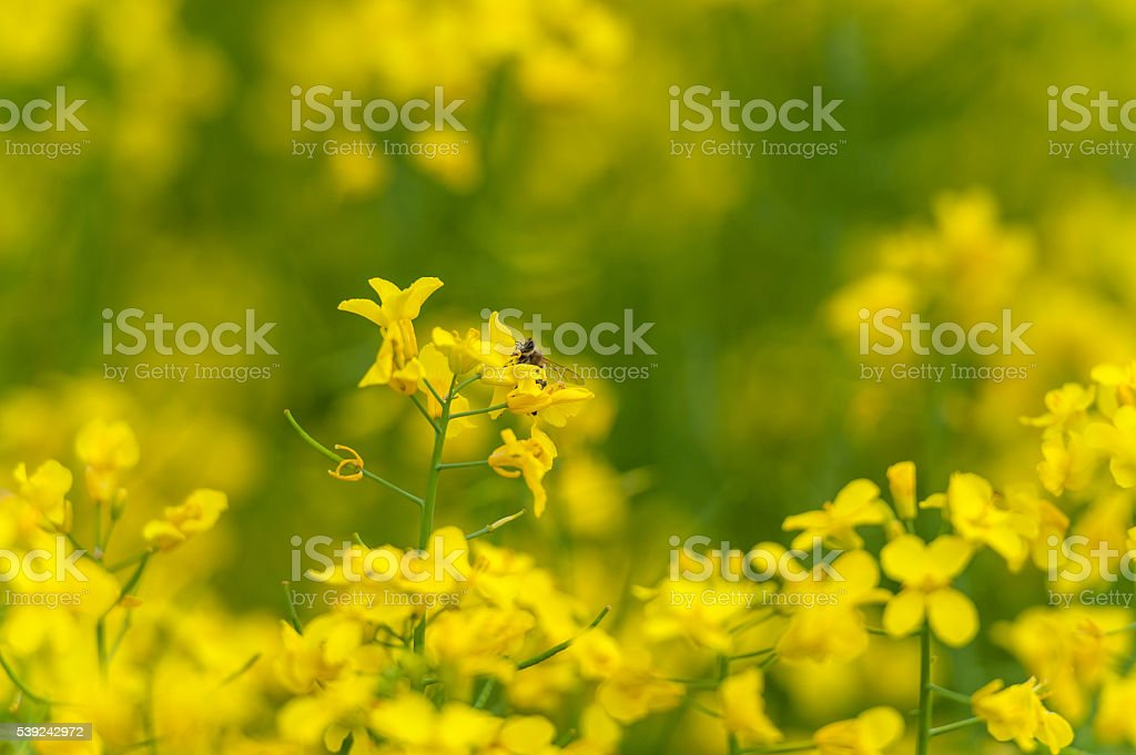 Rapeseed field with Macro Blossom and head of Bee royalty-free stock photo