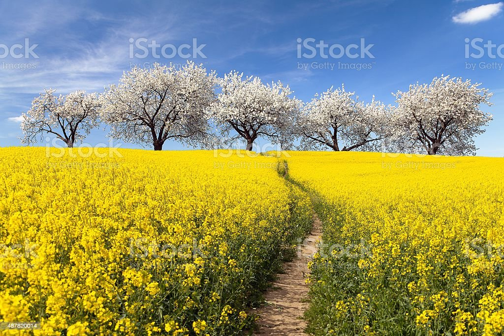Rapeseed field with parhway and alley of flowering cherry trees stock photo