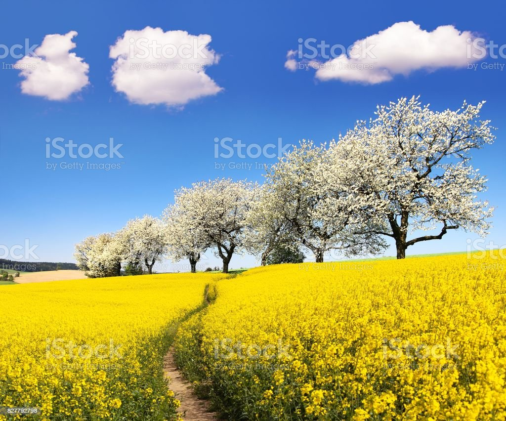 Rapeseed field with parhway and cherry trees stock photo