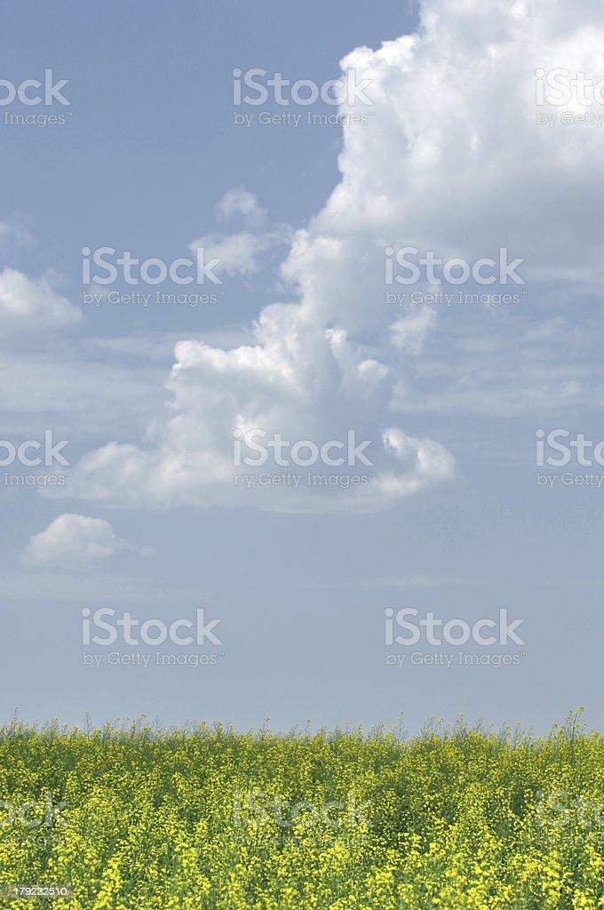 Campo di colza.  Fiori gialli.  La domenica. cielo blu luminoso - foto stock