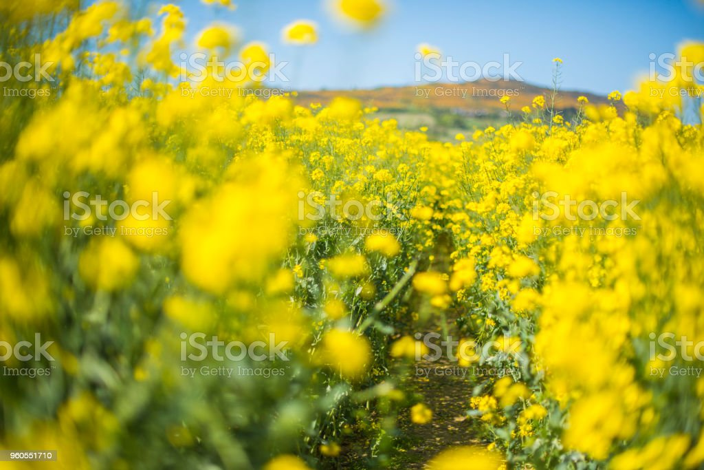 rapeseed fields by the ocean stock photo