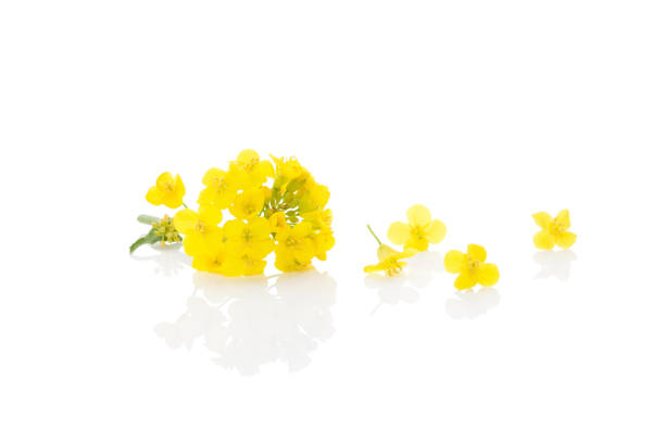 Rapeseed flower isolated on white. Rapeseed flower isolated on white background. brassica rapa stock pictures, royalty-free photos & images