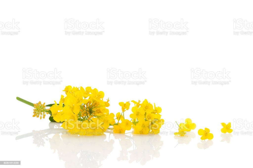 Rapeseed flower isolated on white. stock photo