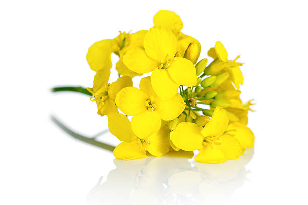 Rapeseed Flower Rapeseed blossom on white background. Brassica napus flowers brassica rapa stock pictures, royalty-free photos & images