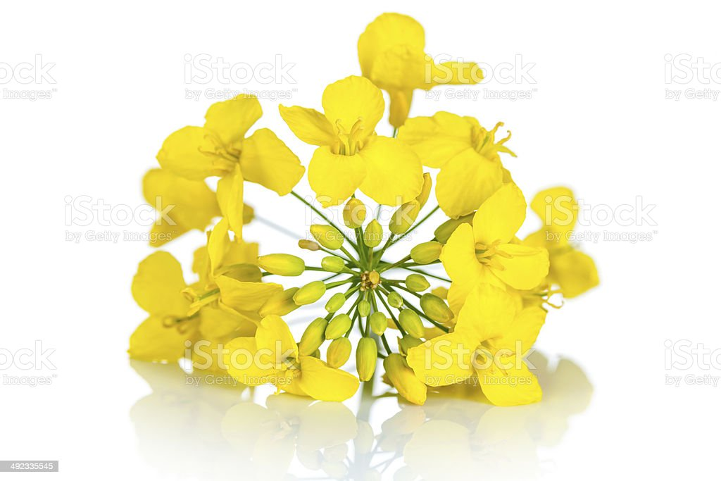 Rapeseed Flower stock photo