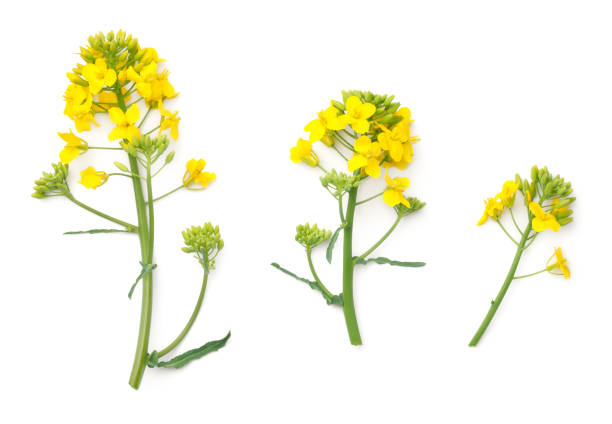 Rapeseed Flowers Isolated on White Background Rapeseed blossom isolated on white background. Brassica napus flowers. Top view oilseed rape stock pictures, royalty-free photos & images