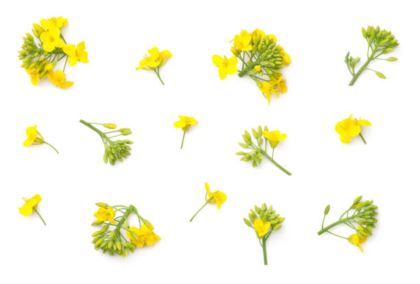 Rapeseed flowers isolated on white background picture id953592998?b=1&k=6&m=953592998&s=612x612&w=0&h=sfd44dn6inktp7tp7zv9 cwjuxvjb53zy7l0rgfq8xk=