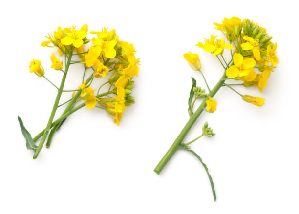 Rapeseed Flowers Isolated on White Background Rapeseed blossom isolated on white background. Brassica napus flowers. Top view brassica rapa stock pictures, royalty-free photos & images