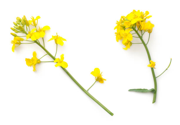 Rapeseed flowers isolated on white background picture id976534892?b=1&k=6&m=976534892&s=612x612&w=0&h=h9bep56mqxq12n2oye ym9jfgsqq7vxu s0rpd6clss=