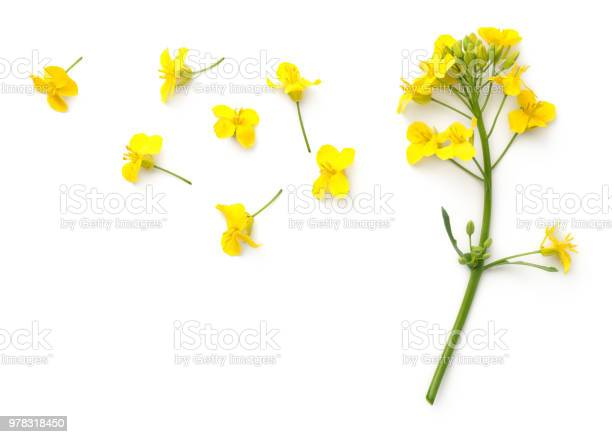 Rapeseed flowers isolated on white background picture id978318450?b=1&k=6&m=978318450&s=612x612&h=0r3cxqnuem0u4kuwsmksvlunyccm2wvh7zaeonelnco=