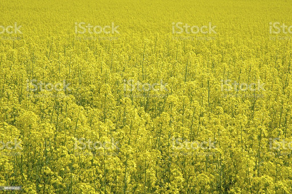 Rapeseed - GMO - genetically modified royalty-free stock photo