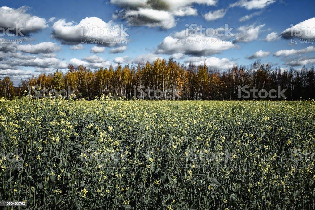 Colza en automne - Photo