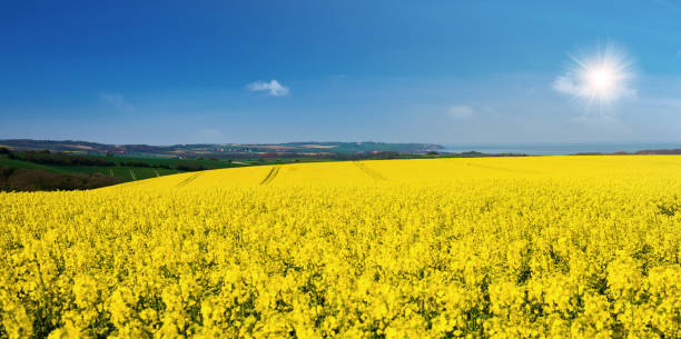 Rapeseed in bloom in the fields Spring campaign in the north of France hauts de france stock pictures, royalty-free photos & images