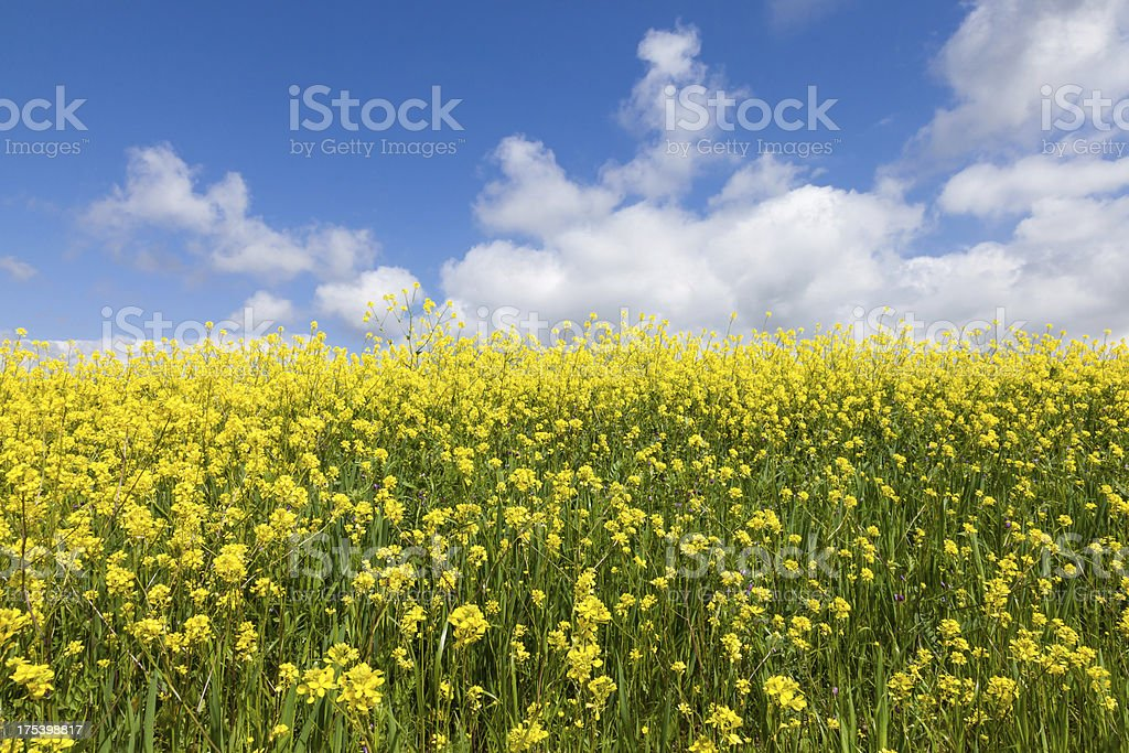Rapeseed in spring stock photo