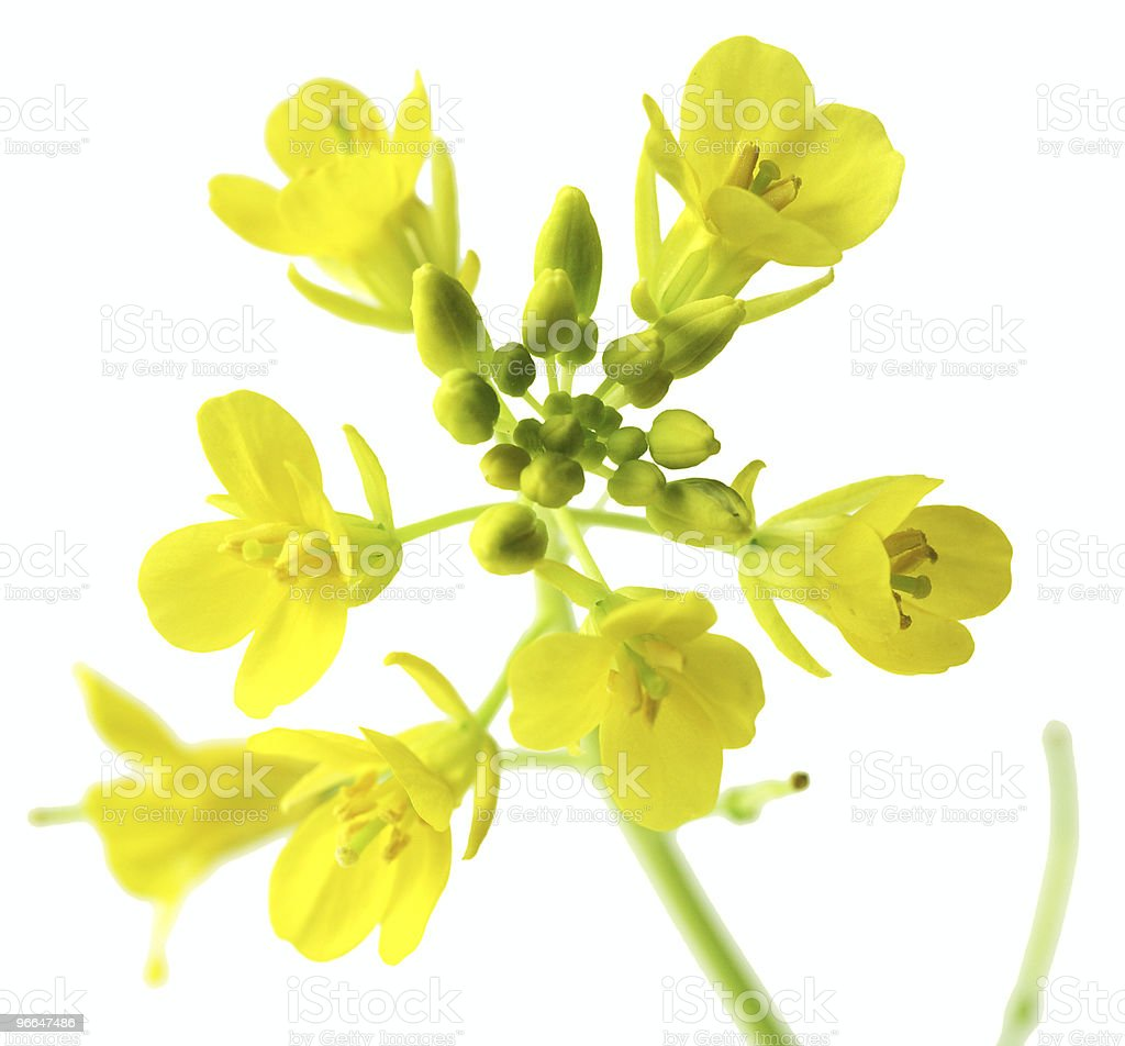 Rapeseed Macro stock photo