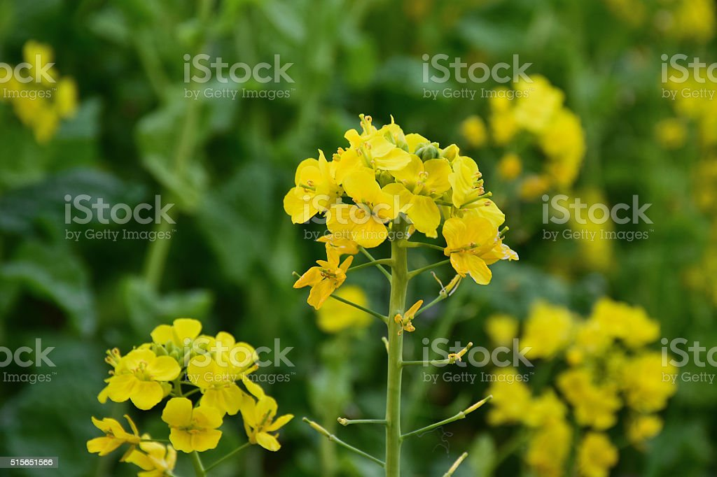 Rapeseed Oil or Canola Flowers Agriculture field stock photo