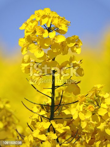 Rapeseed blossom detail
