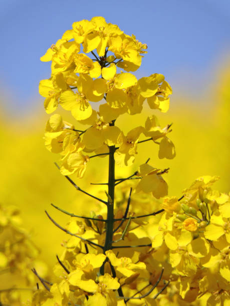 Rapeseed Rapeseed blossom detail oilseed rape stock pictures, royalty-free photos & images
